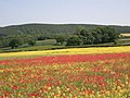 Poppy field at Dilston - geograph.org.uk - 1336568.jpg