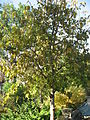Populus lasiocarpa 01 by Line1.JPG