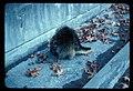 Porcupine on Laughingwater Creek Bridge (Hwy 123?) 111976. slide (6ecbe0cca520446494a47991e214a8ff).jpg