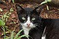 Portrait of a black-and-white patterned cat 2015-06-27.jpg