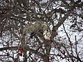 Possum in a crabapple tree.jpg