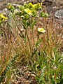 Potentilla gracilis (5069893508).jpg