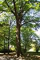 Praha, Liboc, Obora Hvězda, památný strom (Petřinská strana I).JPG