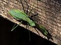 Praying Mantis カマキリ On A Park Bench (233239855).jpeg
