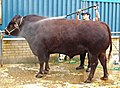 Pressure Washing a Devon Bull (3715888439).jpg