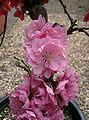 Prunus persica8.jpg