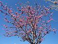 Prunus persica in April in Rome 02.JPG