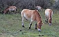 Przewalski's wild horse (2917714434).jpg