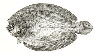 <i>Pseudorhombus</i> genus of fishes