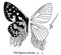 PterothysanusLaticilia.png
