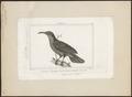 Ptilornis magnificus - 1838 - Print - Iconographia Zoologica - Special Collections University of Amsterdam - UBA01 IZ16100053.tif