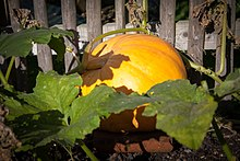 Pumpkin in the Walled Garden (8096949347).jpg