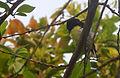 Purple-rumped Sunbird (Leptocoma zeylonica) at Madhurawada 03.jpg