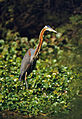 Purple Heron (Ardea purpurea) (20519556249).jpg