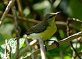 Purple Sunbird Cinnyris asiaticus Female by Vedant Kasambe DSC 6600 (1).jpg