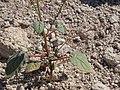 Purple primrose, Chylismia heterochroma (16227829512).jpg