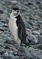Pygoscelis antarcticus 02(js).jpg