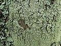 Pyxine subcinerea Stirton 420915.jpg