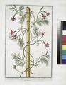 Quamoclit, foliis tenuiter incisis, et pinnatis - Ipomæa.(cypress vine, cardinal climber, star glory) (NYPL b14444147-1125013).tiff