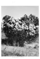 Queensland State Archives 4499 Groundsel in flower c 1950.png