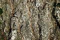 Quercus imbricaria NRCS-2.jpg