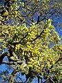 Quercus lobata-2.jpg