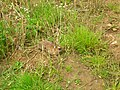 Rabbit with Myxomatosis - geograph.org.uk - 508595.jpg