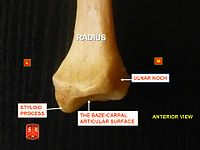 Radius, styloid process - anterior view