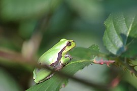 Raganella italiana (Hyla intermedia) - Italian tree frog, Milano, Italia, 09.2018 (7).jpg