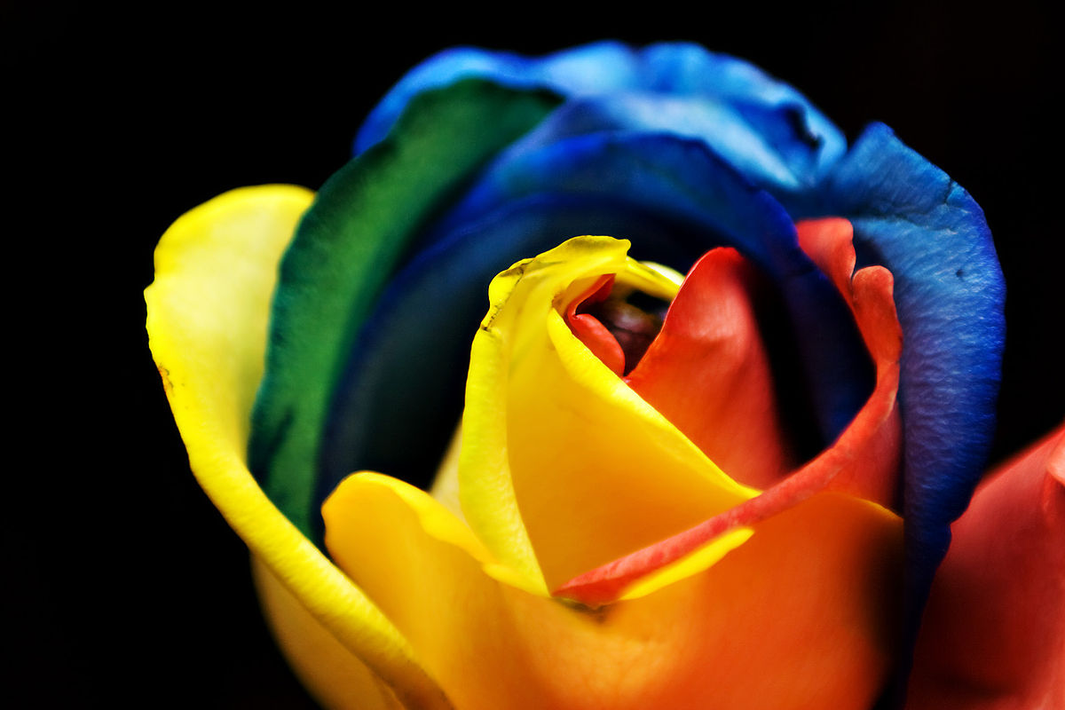 Rainbow rose wikipedia for How to color roses rainbow