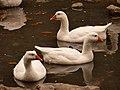 Rainy Geese (8133032565).jpg