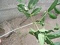 Rama de árbol de clima estacional en verano - cicatriz foliar, cicatrices de la yema apical en dormición, brote de este año, hojas (compuestas) y yemas.JPG