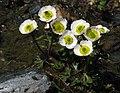 Ranunculus glacialis RF.jpg