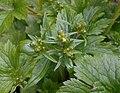 Ranunculus lanuginosus 2017-04-30 9107.jpg