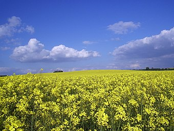 View of a rapeseed field at Grendon, Northamptonshire