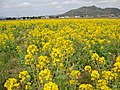Rapeseed fields in Kamogawa 20100314.jpg