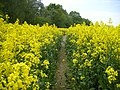 Rapsfeld in Deutschland Teltow - panoramio (2).jpg