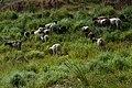 Rebanho de ovelhas - Sítio Caramonã.jpg