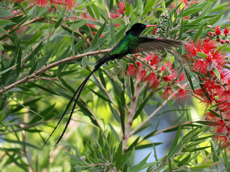 Male Red-billed Streamertail Hummingbird