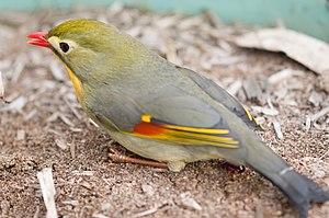 Red-billed leiothrix - Red-billed leiothrix, Maui, Hawaii