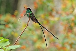 Red-billed streamertail( Trochilus polytmus) adult male 2.jpg