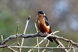 Red-breasted swallow (Cecropis semirufa).jpg