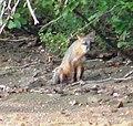 Red Fox5 (6330282249).jpg