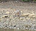 Red Fox8 (6331036270).jpg