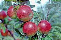Red Granny Smith on tree, National Fruit Collection (acc. 1961-086).jpg