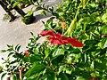 Red Hibiscus 02.jpg