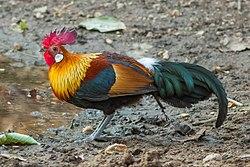 Red Junglefowl (male)-9858, crop.jpg