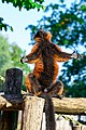 Red Ruffed Lemur (50349738218).jpg