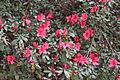Red azaleas, Drexel Park.JPG