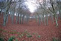 Red carpeted slopes of Melbury Wood - geograph.org.uk - 620402.jpg